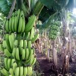 خفايا حرب الموز بين أميركا والاتحاد الاوروبي